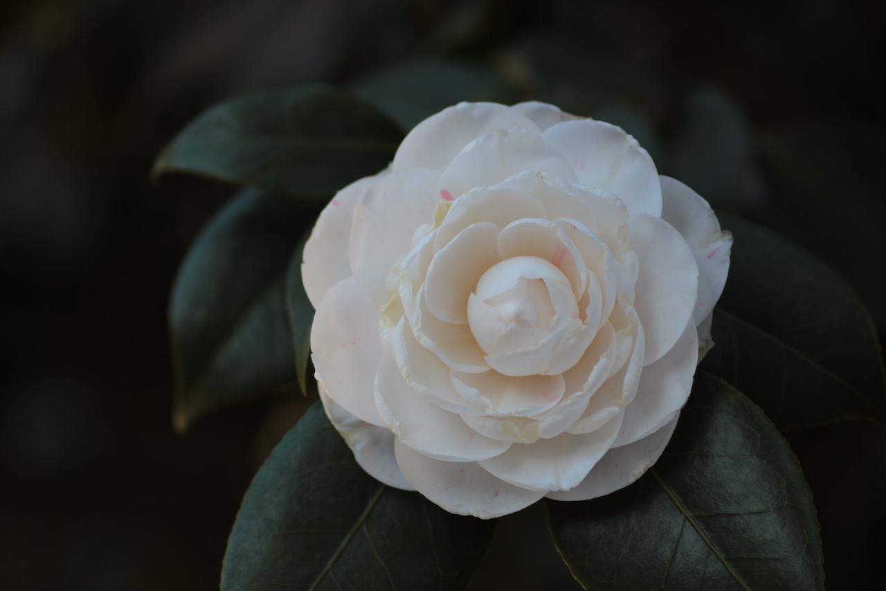 petits bonheurs ; camélia ; fleur